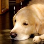 愛犬の老化や認知症にもココナッツオイルの効果がある!