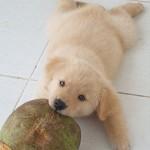 ココナッツオイルの犬猫ペットへの効果、量や注意点は?②